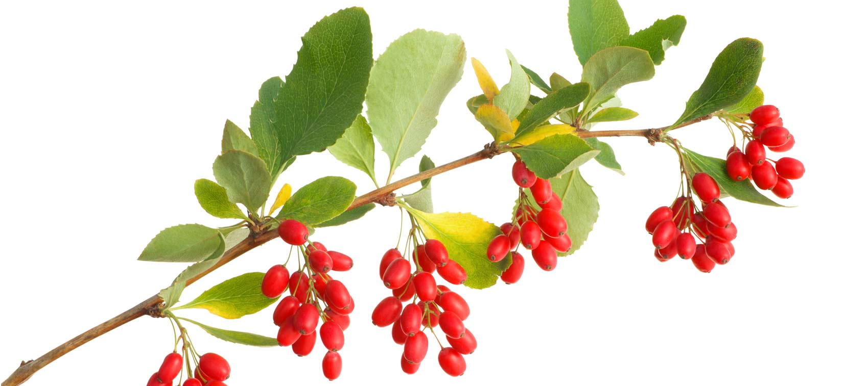 Berberine Benefits and Research | Healthy Directions